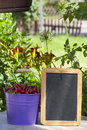 Cherries and a blank slate board metal bucket filled with freshly picked from the garden writeable with copy space Royalty Free Stock Image