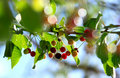 Cherries on a branch Royalty Free Stock Photos