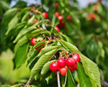 Cherries on Branch Royalty Free Stock Photo