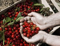 Cherries a farmer pick up from a box Royalty Free Stock Photo