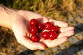 Cherries in hand Royalty Free Stock Photo