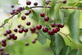 Cherries hanging on a cherry tree branch Royalty Free Stock Photography