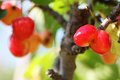 Cherries image of on a tree Royalty Free Stock Photography