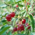 Cherries ripe fresh on branch Royalty Free Stock Images