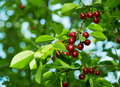 Cherries on the Tree. Stock Images