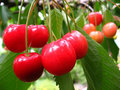 Cherries in the tree Royalty Free Stock Photography