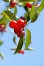 Cherries on the Tree Royalty Free Stock Photo