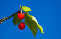 Cherries two red and green leaves against deep blue sky Stock Photo