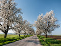 Cherry alley road vanishing in the distance and of flowering trees Royalty Free Stock Image