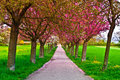 Cherry alley tree with red blossoms Royalty Free Stock Image