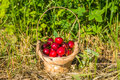 Cherry in the basket