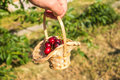 Cherry in the basket on the man`s hand