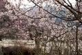 Cherry Blooming,Nyingchi,Tibet