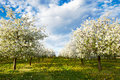 Cherry blooming orchard with dandelions Royalty Free Stock Photo