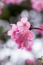 Cherry blooms japanese blossom Royalty Free Stock Images