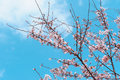 Cherry blossom Foto de Stock Royalty Free