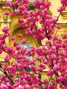 Cherry blossom against baroque closeup of a japanese tree in front of a facade building Stock Images
