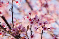 Cherry blossom beautiful pink select focus to pink Royalty Free Stock Images