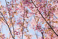 Cherry blossom beautiful pink select focus to pink Royalty Free Stock Photography