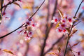 Cherry blossom beautiful pink select focus to pink Stock Images