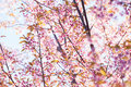 Cherry blossom beautiful pink select focus to pink Royalty Free Stock Photo