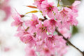 Cherry blossom blooming on branch day light Royalty Free Stock Image