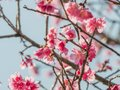Cherry blossom blooming in spring time Royalty Free Stock Photo