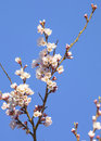Cherry blossom blossoms against clear sky Royalty Free Stock Image