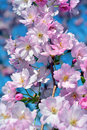 Cherry blossom blossoms in macro closeup Royalty Free Stock Image