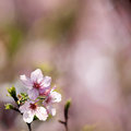 Cherry blossom branch with beautiful pastel pink background Royalty Free Stock Photography