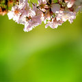 Cherry blossom branch with beautiful pastel pink background Royalty Free Stock Photos
