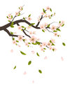 Cherry Blossom, Branch of Tree with Flying Petals Isolated