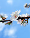 Cherry blossom close up of flower on a branch on clear blue sky Stock Image