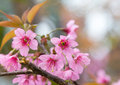Cherry blossom closeup on branch day light Royalty Free Stock Images
