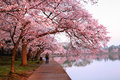 Cherry Blossom Festival Loop Washington DC Royalty Free Stock Photo