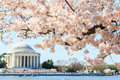 Cherry blossom festival at Thomas Jefferson Memorial in Washingt Royalty Free Stock Photo