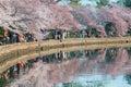 Cherry Blossom Fever Royalty Free Stock Photo