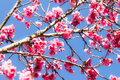 Cherry blossom flower branches of thai sakura tree of thai sakura tree Royalty Free Stock Photo