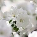 Cherry blossom flower stock photo white petals background for pc desktop wallpaper Stock Image