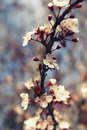 Cherry blossom flower on a vertical tree branch sakura Royalty Free Stock Photos