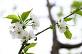 Cherry blossom flowers on branch white Royalty Free Stock Photography