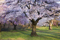 Cherry Blossom Forest Royalty Free Stock Photo