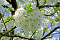 Cherry blossom a fruit tree blooming Stock Images