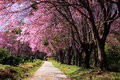 Cherry blossom garden Royalty Free Stock Photo
