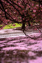 Cherry blossom garden full of love Royalty Free Stock Photo