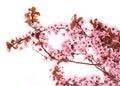Cherry blossom isolate. Sakura. Beautiful pink flowers
