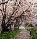 Cherry blossom in the japan on winter season Royalty Free Stock Photography