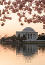 Cherry blossom and jefferson memorial at sunrise dawn by tidal basin surrounded by pink japanese blossoms with the monument lit by Royalty Free Stock Photo