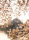 Cherry blossom and jefferson memorial at sunrise dawn by tidal basin surrounded by pink japanese blossoms with the monument lit by Stock Photography