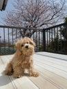 Cherry Blossom & Orio